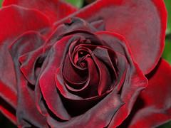 Róża - Rose (arjuna_zbycho) Tags: roses flower österreich rose austria bravo olympus gül blume baden rosas niederösterreich macrophoto زهرة kwiat rosae badenbeiwien e500 róża rosu róże rakousko makrofoto trandafiri trandafir doblhoffpark الورد roselovers abigfave biosphaerenparkwienerwald gülsevenler