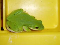 PA250008 (tbertor1) Tags: frog tulio bertorini