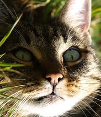 Domisia (arjuna_zbycho) Tags: pet cats pets cute animal animals cat austria österreich kitten feline chat felix kitty kittens gato katzen haustier kater niederösterreich tier rakousko hauskatze domisia abigfave
