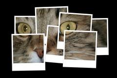 puzzled sputnik (photos4dreams) Tags: pet cats pets cute animal cat kat feline chat kitty gatos gato calico meow katze sputnik siberian kater katt gatito kissa longhaired sibirian sibi 吵吵闹闹的 不和的 êîøêà кі́шка photos4dreams photos4dreamz