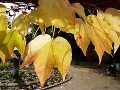 ffm - weinbltter im herbst (ds-foto :: bembelkandidat) Tags: city autumn germany deutschland hessen frankfurt herbst vine stadt blatt blaetter sonne mainhatten wein bembelkandidat gegenlicht weinblatt herbstsonne herbstblatt