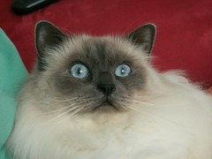 Najim (Mandy Verburg) Tags: pet cats holland netherlands animal cat kat feline pussy nederland kitty 猫 huisdier dier pussycat poes kater himalayan tomcat sliedrecht najim thebiggestgroup cc200 cc100 mandyarjan bestofcats thebiggestgroupwithonlycats