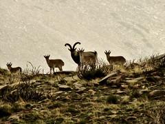 ibex (_tonidelong) Tags: autumn naturaleza mountain fall nature rain animal fog lluvia wildlife 2006 otoño animales montaña cabra niebla montes ibex animaladdiction