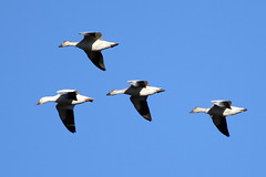 Snow Geese in glide formation (cc49) Tags: birds snowgeese reifelisland cc49
