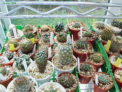 In the sera (Sleyman) Tags: flowers cactus cacti greenhouse serre cactuscollection