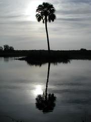 Palm Tree Reflection (Scott Kinmartin) Tags: reflection tree landscape pond florida palm palmtree christmasfl