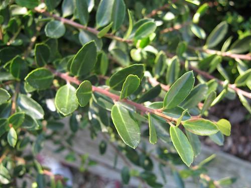image Ilex crenata leaves