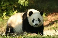 Big boy (somesai) Tags: animal smithsonian panda endangered animlas pandas