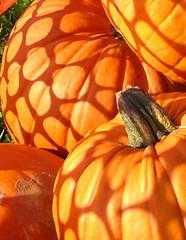 snow fencing in Florida (Jen's Photography) Tags: food orange color halloween interestingness fdsflickrtoys nikon shadows sale fineart pumpkins scout explore coolpix pointandshoot edible gulfport coolpix2100 nikoncoolpix2100 e2100 bighugelabs gulfportflorida jensphotography snapandshoot