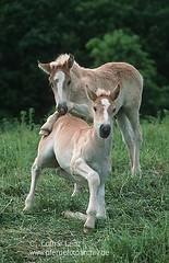 fin3956 (Lothar Lenz) Tags: friends horse poster caballo cheval action cover kalender cavallo cavalo pferd freunde freundschaft hest equus paard titel foal hst fohlen hestur konj hobu zirgs finnpferd lotharlenz
