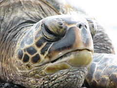 Looking Up (cindeeluwho1) Tags: nature animals reptile wildlife hi aquatic seaturtle greenseaturtle blacksandbeach