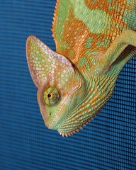 Pyro the Chameleon (munkler_1988) Tags: green animal crazy cool veiled veil reptile cage lizard pyro chameleon herp calyptratus chamaeleo herpotology