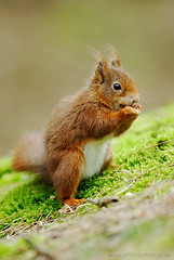 Red Squirrel (c) (Richard Peters) Tags: animals nikon wildlife d200 redsquirrel formby specnature nikonstunninggallery animalkingdomelite sb800flash
