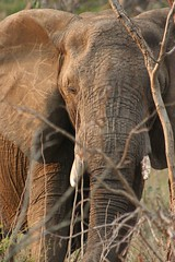 The quiet giant (Little miss nobody) Tags: sunset elephant closeup southafrica wildlife safari thornybush lpwild