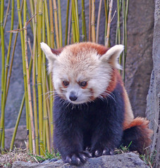 Red Panda at the National Zoo (billadler) Tags: china animal washingtondc panda redpanda dcist nationalzoo showcase clevelandpark scoopt specanimal abigfave impressedbeauty aplusphoto