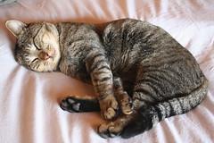 [フリー画像] [動物写真] [哺乳類] [ネコ科] [猫/ネコ] [寝顔/寝相/寝姿] [キジトラ]     [フリー素材]