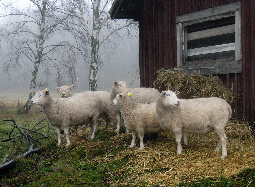Sheep in the mist II