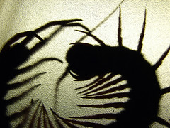 Centiform (Furryscaly) Tags: pet macro texture feet animal silhouette closeup backlight contrast bug scary vietnamese legs critter eerie creepy jaws translucent curled backlit curl limbs transparent fangs coil centipede captive creature silhouetted bizarre arthropoda antennae textured captivity poisonous venomous lightanddark invertebrate coiled feelers arthropod throughglass creepycrawly darkandlight mandibles myriapod giantcentipede myriapoda throughplastic scolopendra chilopoda maxillipeds scolopendrasubspinipes ectothermic asiangiantcentipede vietnamesegiantcentipede ssubspinipes orangeleggedcentipede orangeleggedjunglecentipede asianforestcentipede asiancentipede forestcentipede vietnamesecentipede scolopendrasubspinipesdehaani mauchaucentipede mauchau taxonomy:kingdom=animalia taxonomy:class=chilopoda taxonomy:phylum=arthropoda taxonomy:order=scolopendromorpha taxonomy:family=scolopendridae taxonomy:genus=scolopendra taxonomy:binomial=scolopendrasubspinipes taxonomy:subphylum=myriapoda