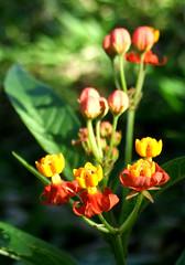 Pequenas e lindas (Adriana Arajo) Tags: flor stio florzinha segundafeira pquena