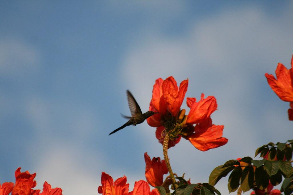Beija-flor Tesoura - Swallow-tailed Hummingbird 8 152
