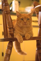 This Is My Chair! (Mark Veitch) Tags: wood boy orange yellow tag3 taggedout cat table nose eyes chair feline tag2 tag1 tabby tail vince ears spots paws wiskers