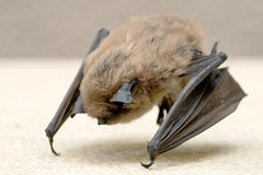 Bat (Heather Leah Kennedy) Tags: california valencia bat littlebrownbat myotislucifugus santaclarita