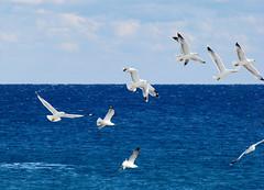 Seagulls (esther**) Tags: blue sea sky seagulls birds clouds fly bravo gulls hellas 2006 greece rhodes interestingness19 interestingness62 sonydsch5 abigfave