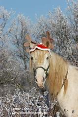 151204 (66) (Lothar Lenz) Tags: christmas winter weihnachten poster berber cover kalender pferde titel rauhreif impressedbeauty