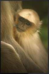 Safe... (hvhe1) Tags: baby india nature mammal monkey bravo quality wildlife langur suckling interestingness2 instantfave outstandingshots specanimal animalkingdomelite abigfave hvhe1 hennievanheerden specanimalphotooftheday impressedbeauty babylangur