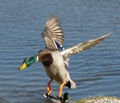 drake 5 (JAMES HALLROBINSON) Tags: fly wings action flight ducks landing drakes mallards wildfowl e500