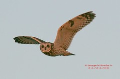 Short-eared Owl by George W Bowles Sr (georgesr58) Tags: george feeding w hunting flight short owl bottoms bowles ewing eared ias brownstown 112306 specanimal abigfave