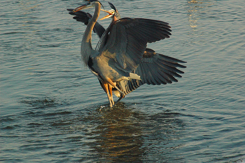 great blue heron pic