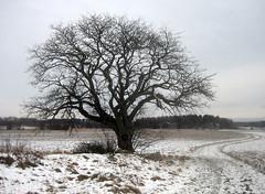 That Old Tree (Steffe) Tags: old winter snow tree nature project landscape geotagged natur trd landskap photoproject vlsta sorbusintermedia swedishwhitebeam oxel winterinsweden geo:lon=18074827 geo:lat=5910454