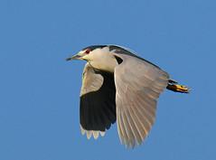 BCNH in flight (Jerry Ting) Tags: inflight coyotehills birdinflight blackcrownednightheron flickrexplore specanimal