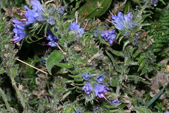 1276070021 Viper's_Bugloss 2007-08-29_19:27:19 Greenham_Common