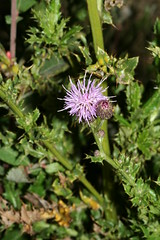 1276967302 Creeping_Thistle 2007-08-29_19:42:24 Greenham_Common