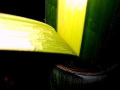 Bamboo splits (joaobambu) Tags: 2005 bamboo bambu split macro closeup green yellow abstract graphic