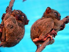 DSC04848 (Raul Wong Roa) Tags: travel philippines bohol visayas tarsier primates raulwongroa