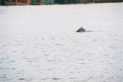 Indo-pacific humpbacked dolphin