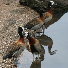 Mmm, that's the spot! (simpologist) Tags: london londonwetlandcentre barnes nature birds bird geolat5147929 geolong022905 whitefacedwhistlingduck dendrocygnaviduata duck ducks preening pleasure sociable group reflection