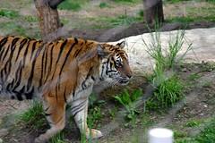 Tyger, Tyger Burning Bright... (Ninox) Tags: animals localzoo