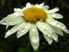 muita chuva (zenog) Tags: chuva rain margarida flower dayse tears