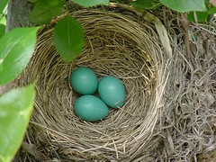 robin's nest May 23, 2005 (corsi photo) Tags: bird birdnest robin robinseggs nature birds eggs nest blue wow