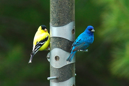 American Goldfinch and Indigo Bunting