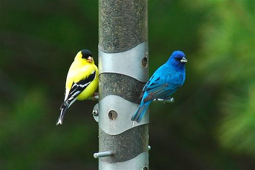 American Goldfinch and Indigo Bunting