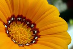 (Vir gin ia) Tags: orange flower gazania fiore arancione ccmpclosencounter