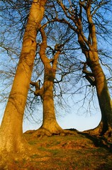 Trees at Avebury