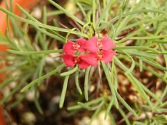 Euphorbia gottlebei (Brujo) Tags: plant red green euphorbia flower macro