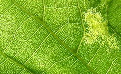 Leaf Veins (premasagar) Tags: leaf tree nature green alexandrapark urbannature macro catchycolors goldenrectangle