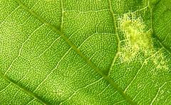 Leaf Veins (premasagar) Tags: leaf tree nature green alexandrapark urbannature macro catchycolors goldenrectangle